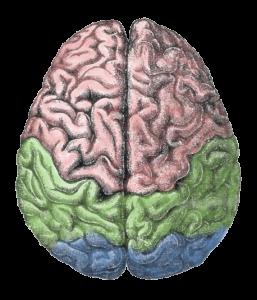 Cerebro meu